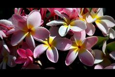 Pink plumeria bunch from Hawaii