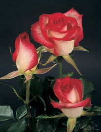 Roses: Bicolor,Novelty,Red,White**    Variety: (Twiggy)** Number of petals:( 50-52 )** Vase Life: (12-14) Days**  Fragrance: (NO)