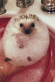 bath day for a little hedgehog :-).