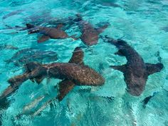 Swimming with sharks (friendly ones!) at Shark Ray Alley, Belize #adventure #xoBelize