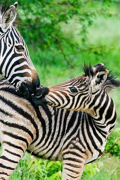 Baby Zebra with its mom. Kisses