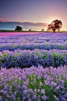 Sunset, Lavender Field, Provence, France