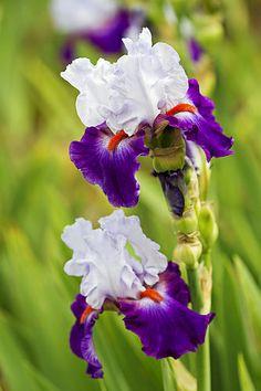 Purple Piquant - Iris