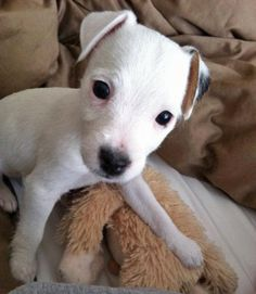 Heres Zora the Jack Russell Terrier! Oh she is Precious!