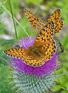 Dark Green Fritillary (argynnis aglaja).  Apparently so named by someone who was color blind