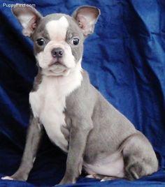 Grey Boston Terrier