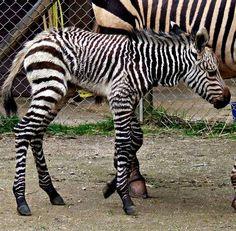 Baby zebra born in the UK this week!!!