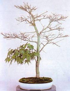 This Japanese maple (Acer palmatum) has been partially defoliated to move the energy.