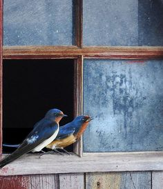 Barn Swallows by Chris Vest