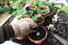 Cómo cultivar Ajo