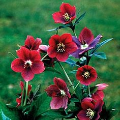 Red Lady helleborus (Lenten Rose)