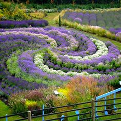 This backyard -- the Yorkshire Lavender Garden -- was the work of a British husband in the wake of his wife's death from cancer. Beautiful in every way...
