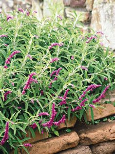 End the fall season with this gorgeous Mexican Sage. These purple flowers will perfectly complement your trees' oranges and yellows! More fall flower ideas: http://www.bhg.com/gardening/flowers/perennials/fall-garden-plants/?socsrc=bhgpin091113mexicansage#page=15