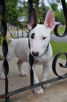 english bull terriers, ear, babi dog, pet treats, cutest dogs, sweet babi, black white, baby dogs, puppi