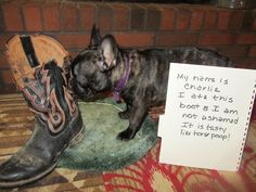Hi! My name is Charlie! I loves to eat boots and I am not ashamed because I am a Frenchie. I also loves to drag the toilet seat cover in the...