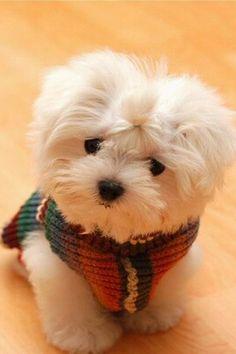 Cute puppy w/ sweater