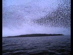 Stunning.  Murmuration of Starlings
