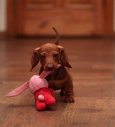 baby dachshund playing with his stuffed toy