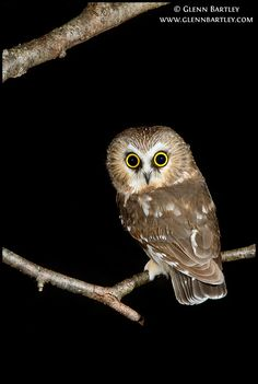 Northern Saw-whet Owl (Aegolius acadicus). Photo by Glenn Bartley.