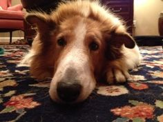 Chester Updated is an adoptable Collie Dog in Houston, TX. Hi! I'm Chester. After living on a street on my own for two months, I found a temporary home with my foster mom. My coat was in such bad shap...