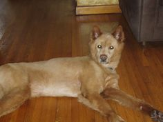 """My name is Jazzie. I was on death row at Miami Dade Animal Services before I was rescued. I am living in a foster home and am doing great. I am a beautiful Golden Retriever/Chow mix and have the personality of a Golden (sweet, gentle and loving). I am 5yr old, healthy and weigh approx. 54 lbs.    I am very lovable, obedient and a """"funny"""" girl who will keep you laughing. I am low energy, gentle and loving.     I am looking for someone who will love me as much as I will love them. #rescuedog #dog"""