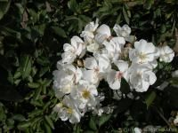Darlow's Enigma rose from Rogue Valley Roses