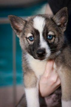 Arctic Pomskies - Siberian Husky/ Pomeranian
