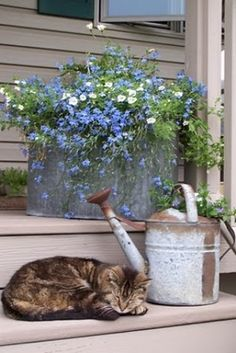 galvanized bucket w/flowers.... porch kitty! white lobelia, country porches, old watering cans, blue flowers, cat naps, old tins, garden, tin pot, front porches