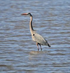 Tribune photographer Tom Stromme shot this photo of a great blue heron wading in a slough near 48th Avenue in Bismarck, N.D., this morning.