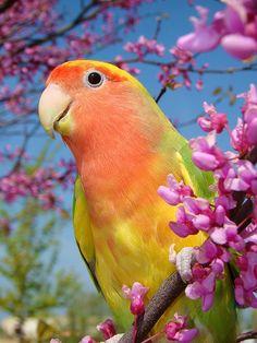 Lovely Lovebird