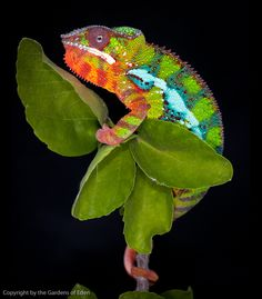 Furcifer pardalis, Panther Chameleon by Michael Kern-looking forward to watching my two males color up as they get older