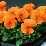Pansy Delta Pure Deep Orange