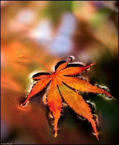 Japanese Maple Tree Leaf floating on water- Autumn.