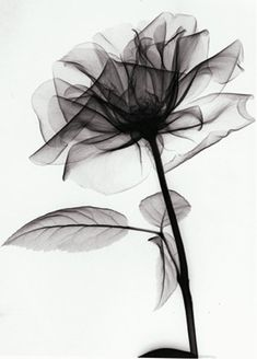 X-rayed Rose by Dr. Albert Richards - tribe.net