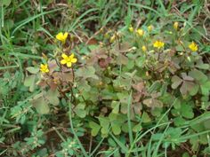 How to control the common lawn weed oxalis