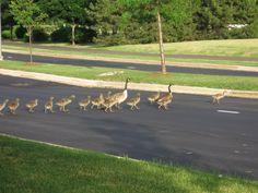 A family of geese crossing the road in Chicago
