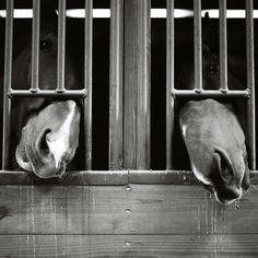 Nosey ponies