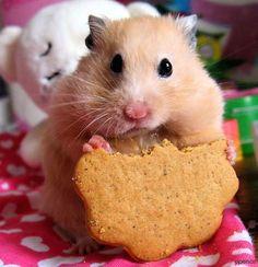 12831328, 138035265213531817652jpg, hamster, rat