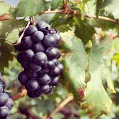 Liver Cleanse Grape Juice