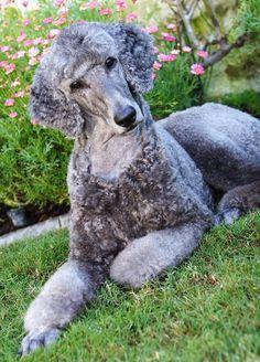 I want a grey poodie so bad!