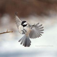 Carolina Chickadee flying and landing by Edward Mistarka, via Flickr