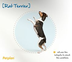 The Rat Terrier is a small American breed of Terrier common on farms in the early 1900s. This tenacious dog was used for ridding farms of vermin, including rats, giving it its almost too obvious name. They share a certain stubbornness and Napoleonic complex with other Terrier breeds, but are extremely intelligent and willing to learn if given the right environment.