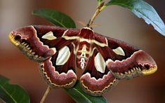 Rothschildia Jacobae Moth