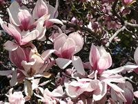 Saucer Magnolia (Tulip Tree)  A saucer magnolia (Magnolia x soulangeana) in full bloom will just about knock your socks off! This smallish tree begins setting buds in the fall, to emerge in full bloom in early spring before the foliage grows. The waxy magnolia blossoms literally drip from the branches and provide a lovely carpet of petals. Grows in full sun but enjoys a little afternoon shade.    Planting zones 4-9