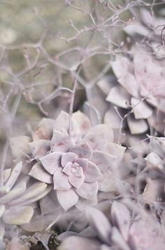 Dusty Pink-Purple Succulent. Would love a succulent garden or garden box.