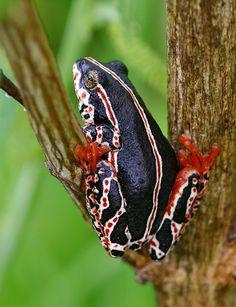 Hyperolius marmoratus. reed frog.