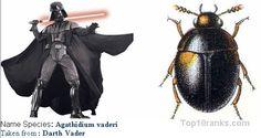 Agathidium vaderi (Darth Vader)
