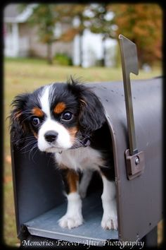 special delivery...  cavalier king charles