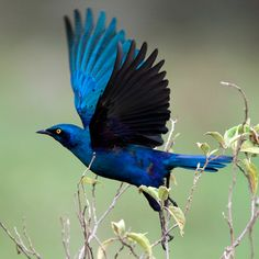 Greater Blue-eared Starling or Greater Blue-eared Glossy-starling (Lamprotornis chalybaeus) is a bird that breeds from Senegal east to Ethiopia and south through eastern Africa to northeastern South Africa and Angola. It is a very common species of open woodland that undertakes some seasonal movements. www.instinctsafaris.com