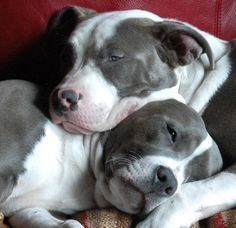 Zeus and Zena: Brother and Sister, Pit Bulls.